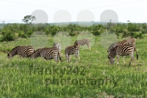 Herd of zebras in South Africa - franky242 photography