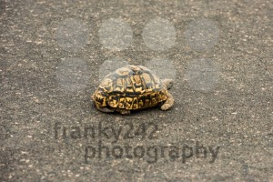 Leopard tortoise resting on a paved road - franky242 photography