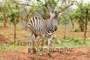 Lone zebra in the African bush - franky242 photography