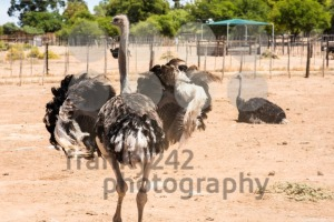 Male ostrich (Struthio camelus) - franky242 photography