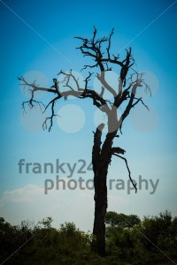 Old tree silhouette at sunset - franky242 photography