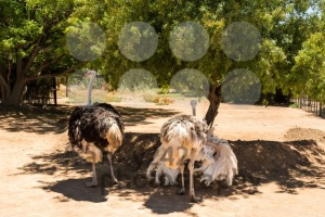 Ostrich couple (Struthio camelus) - franky242 photography