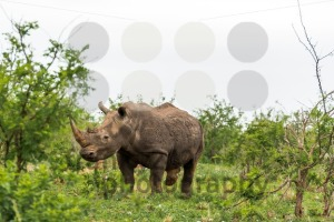 Portrait of white rhino in an open field in South Africa - franky242 photography