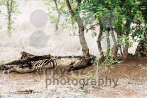 Remainings of a dead zebra - franky242 photography