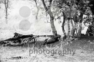 Remainings of a dead zebra - abstract b&w photo - franky242 photography