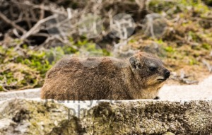Rock dassie on the rock in South Africa - franky242 photography