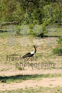 Saddle-billed Stork (Ephippiorhynchus senegalensis) - franky242 photography