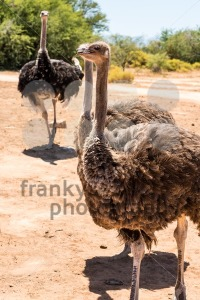 South African Ostriches (Struthio camelus) - franky242 photography