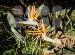 Strelitzia Reginae (bird of paradise flower) - franky242 photography
