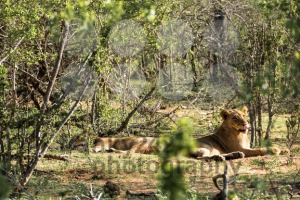 Two lionesses resting in the sun - franky242 photography