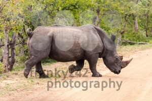 White Rhino crossing the road - franky242 photography