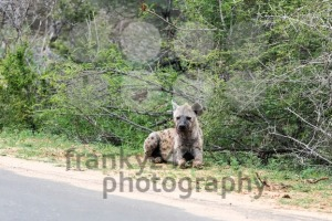 Wild Spotted Hyena posing next to paved road - franky242 photography