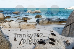African Jackass Penguins - franky242 photography