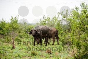 African buffalo portrait - franky242 photography