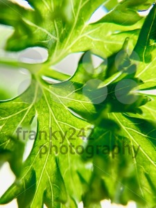 Closeup of fresh parsley - franky242 photography