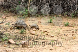 Leopard tortoise walking - franky242 photography