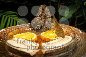 Owl Butterfly (Caligo Memnon) - franky242 photography