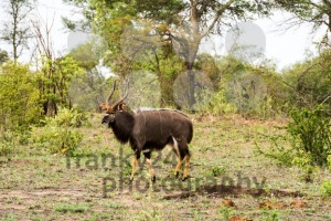 Portrait of male Lowland nyala, Tragelaphus angasii - franky242 photography