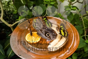 Owl Butterfly (Caligo Memnon) - franky242 photography