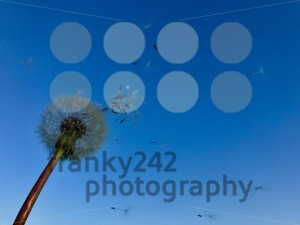 Dandelion blowing away - franky242 photography