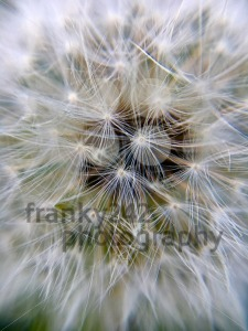 Extreme macro of a dandelion flower - franky242 photography