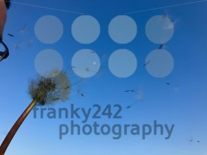 Man blowing dandelion flower - franky242 photography