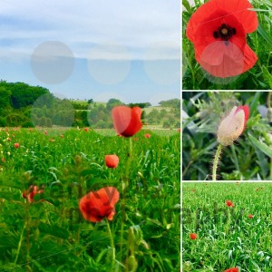 poppy flower collage - franky242 photography