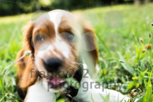 Cute English Springer Spaniel puppy sniffing - franky242 photography