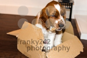 English Springer Spaniel puppy playing - franky242 photography