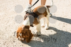Taking an English Springer Spaniel puppy for a walk - franky242 photography