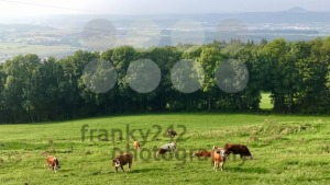 Cows on a pasture - franky242 photography