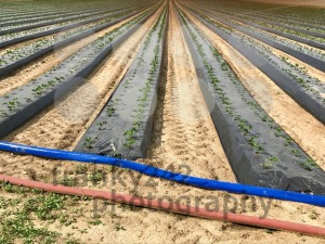 industrial strawberry farming - franky242 photography