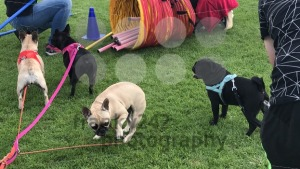 Four pug dogs - franky242 photography
