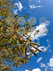 Horse-chestnuts on tree - franky242 photography