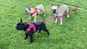 Three pug dogs - franky242 photography