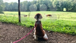 Welsh Springer Spaniel puppy on the leash - franky242 photography