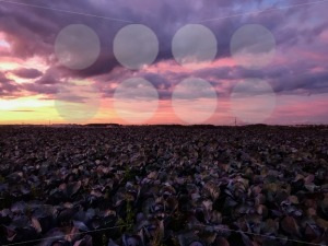 Cabbage fields with dramatic sunset sky. - franky242 photography