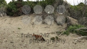 Red fox sniffing along the beach - franky242 photography