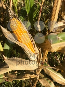 Ripe maize corn ear on the cob - franky242 photography