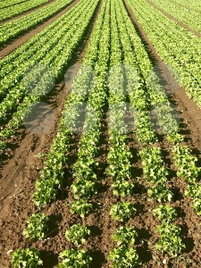 Rows of salad on a large agriculture field - franky242 photography