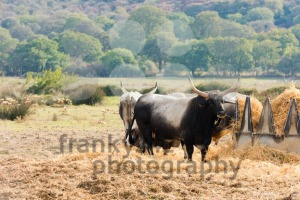 Tuscan Maremma cows - franky242 photography
