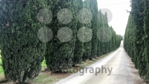 Typical country road in Tuscany lined with cypress trees - franky242 photography
