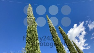 Typical cypress trees in Tuscany - franky242 photography