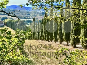 Typical landscape in Tuscany with cypress trees - franky242 photography