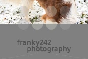 Young Welsh springer spaniel in the snow - franky242 photography