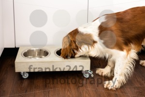 Springer Spaniel eating - franky242 photography