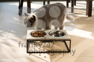 Beautiful cat approaching a food bowl - franky242 photography