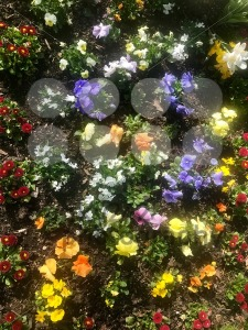 Blossoming spring flowers on a flowerbed - franky242 photography