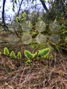 Pussy willow branches with catkins - franky242 photography