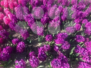 purple hyacinth flowers blossom - franky242 photography